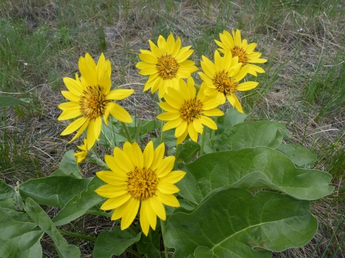 Sunflower_Hill_Reg_40